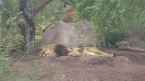 Lions at Phoenix Zoo