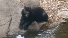 Andean Bear at Phoenix Zoo
